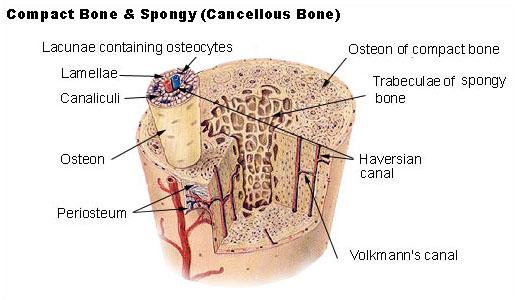 Illu compact spongy bone