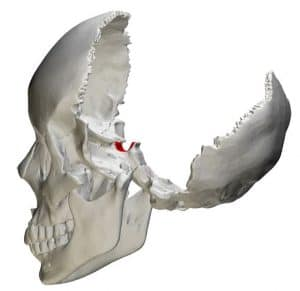 Location of the sella turcica in the skull